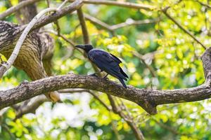 corbeau noir perché sur un arbre photo