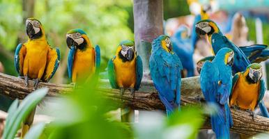 aras jaunes et bleus photo