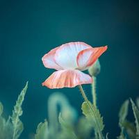 couleur vintage de fleur de pavot en fleurs photo
