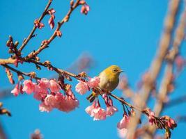 oiseau sur les arbres de fleurs de cerisier photo
