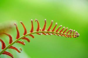 feuilles de fougère fraîches dans la forêt tropicale photo