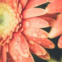 couleur vintage d'une fleur de chrysanthème photo