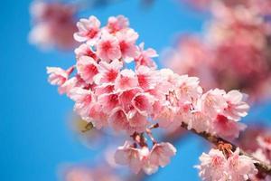fleur de cerisier rose avec ciel bleu