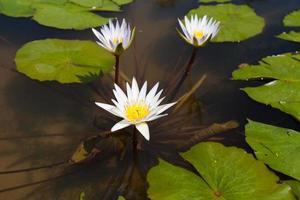 lotus blanc dans l & # 39; étang photo