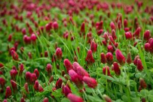 champ de trèfles rouges photo