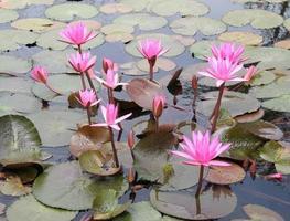 fleurs de lotus rose dans l'étang photo