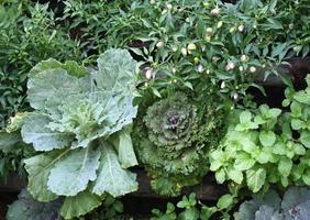 légumes verts dans le jardin photo