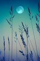 lune et herbes dans le jardin avec une teinte bleue photo
