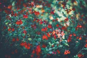 fleurs rouges de sauge photo