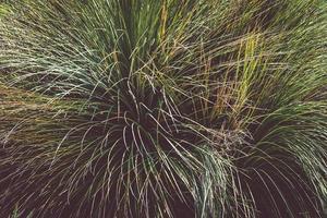 herbe ornementale aka festuca glauca photo