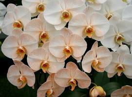 groupe d'orchidées blanches et jaunes photo