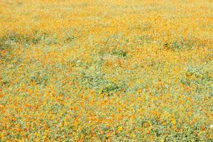 champ de fleurs jaunes et oranges photo
