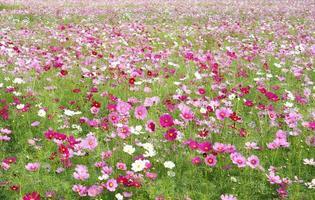 champ de fleurs cosmos photo