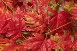 feuilles d'érable automne photo