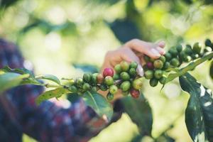 cueillette des grains de café