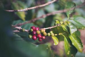 grains de café dans la plantation de café photo