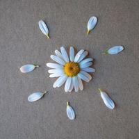 pétales de fleurs de marguerite blanche