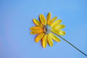 pétales de fleurs marguerite jaune sur fond bleu photo