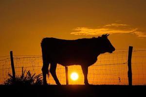 silhouette d'une vache au coucher du soleil dans le pré