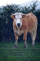 Vache brune paissant dans le pré