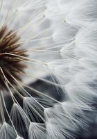 graine de fleur de pissenlit blanc photo
