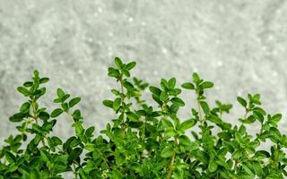 feuilles de thym contre le béton photo