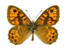 papillon brun mur photo