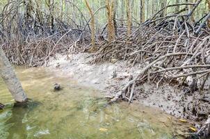 Racine d'arbre de mangrove à Krabi, Thaïlande photo