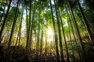 Belle forêt de bambous à arashiyama, kyoto photo