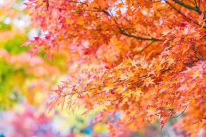 belles feuilles d'érable rouge