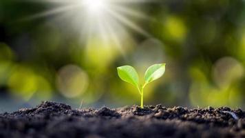 les petits arbres fins poussent naturellement et la lumière du soleil, le concept d'agriculture et de croissance durable des plantes photo