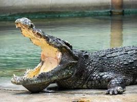 crocodile avec une bouche ouverte photo