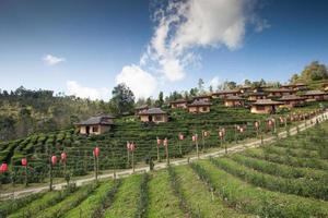 champ de thé et village sur une colline