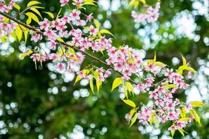 fleurs de cerisier contre les feuilles vertes photo