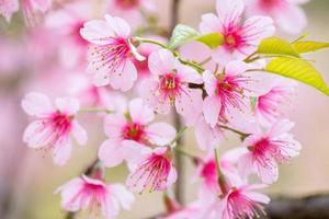 gros plan, cerisiers, fleurs