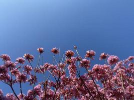 arbre à fleurs roses sur fond de ciel bleu photo