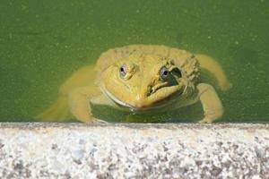 grenouille en partie submergée dans un étang sale photo