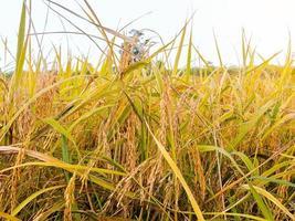 plants de riz doré dans un champ photo