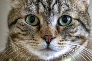 Gros plan d'un chat tigré aux yeux verts photo