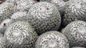 plantes de cactus rondes
