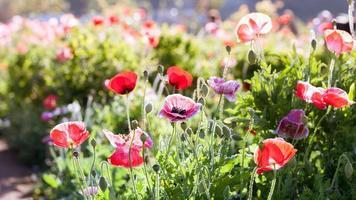 fleurs de pavot colorées