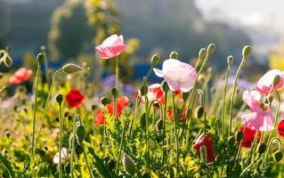 belles fleurs de pavot photo