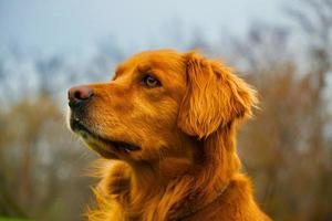 adorable golden retriever avec une fourrure brillante