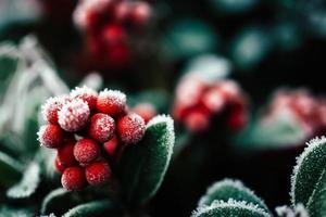 givre sur les fruits rouges et les feuilles