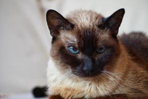 un beau portrait de chat siamois photo