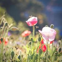 fleurs de pavot dans un champ photo