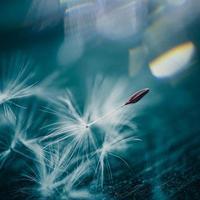 une graine de fleur de pissenlit au printemps photo