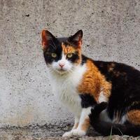 Beau portrait de chat errant noir et marron photo