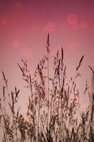 plantes à fleurs sèches et coucher de soleil dans la nature photo