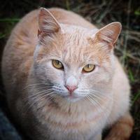 un beau portrait de chat brun photo